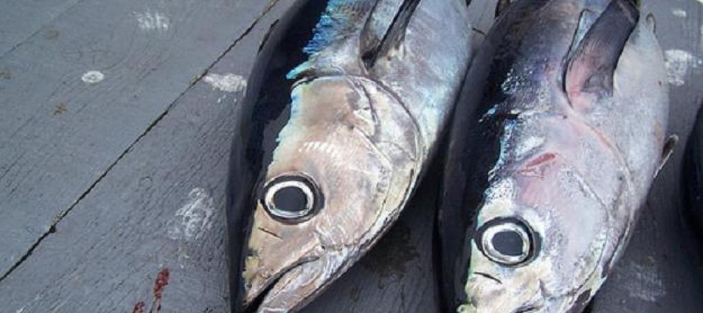 Albacore tombo hawaiian for Hawaiian fish identification